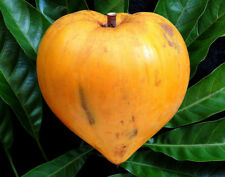 Egg Fruit -Chesa–canistel- Canistel-Pouteria campechiana-Fresh seeds for growing