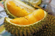 Durian -The King of Fruits seeds Germinated/Ready to grow very rare