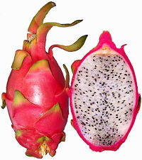 100-500 SEMI DI HYLOCEREUS UNDATUS PITAHAYA ROSSA DRAGON FRUITS RED SEEDS GRAIN