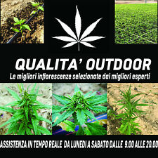 Cannabis Kompolti Sativa Prodotto ITALIANO Light Cannabis 25gr 50gr