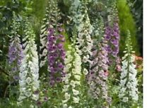 10 or 20  Digitalis Bondana Mixed  large plug plants herbaceous perennial g