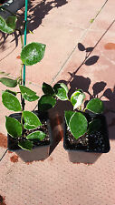 HOYA  VARIEGATED   ROOTED HOUSE  PLANT