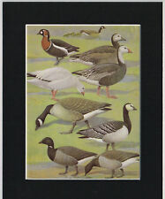 Red-Breasted, Snow, Canada, Barnacle & Brent Goose Mounted Vintage Bird Print