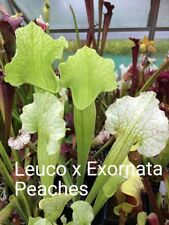 Sarracenia Seed Crossing 2017 part 2 Carnivorous Plants WILL END 31 ST MARCH