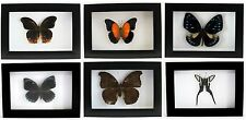 Various Taxidermy Butterfly Mounted under Glass in Poly Frame - UK Seller