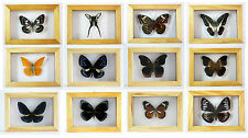 Various Taxidermy Butterfly in Wooden Frame Great Christmas Gift - UK Seller