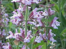 SALVIA OFFICINALIS DALMATIAN SAGE ORGANIC FROM NATURE ORIGIN SEEDS +GIFT