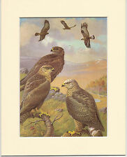 Rough-Legged Buzzard & Buzzard - Mounted 1960s Bird Print ZGFEV31GGS