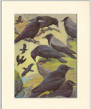 Rook, Raven, Hybrid Crow, Carrion Crow, Hooded Crow Mounted Vintage Bird Print