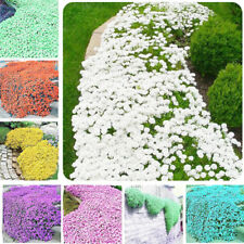 33B9 Rare Rock Cress Seeds Plant Flower Seeds 1bag Beautiful Potted Beautifying