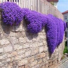 Flower seeds Creeping Thyme Seeds or Blue ROCK CRESS seeds - Perennial Ground