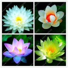 10pcs/bag lotus flower lotus seeds Aquatic plants bowl lotus water lily seeds Pe