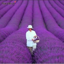 French Provence Lavender Seeds Potted Plant Seeds Very Fragrant 100 Particles /