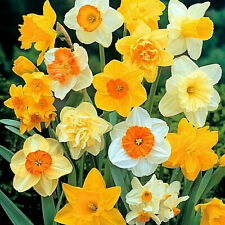Narcissus Yellow Trumpet Golden Daffodils Spring Flowering Size Bulbs Plant Now