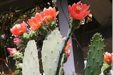 Opuntia elatior Red Flowered Prickly Pear Cactus Succulent Bloom Size Houseplant