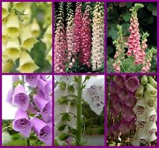 Foxglove seed - various colours and mixes
