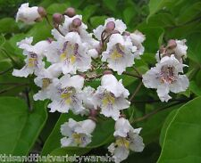 Southern Catalpa bignonioides Tree Seeds White Flower Show Bonsai or Standard