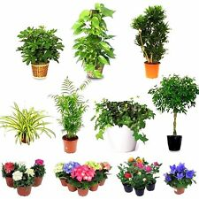 Indoor House Garden Evergreen Perennial Hanging Rare Air Cleaner Large Plant Pot