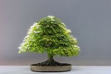 Acer palmatum Japanese Green Maple Seeds! Bonsai or Standard Small Ornamental