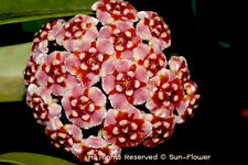 ### Hoya plant - Wax plant - various species, the biggest choice in UK ###