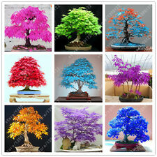 20Pcs/Bag Japanese Maple Seeds Fire Maple Bonsai Flower Seeds Tree Seeds Potted1