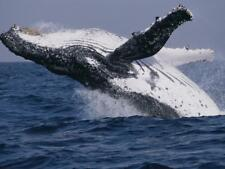 Humpback Whale (Megaptera Novaeangliae) Breaching in the Sea Leinwand von