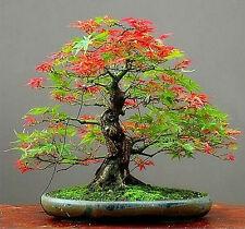 Free Shipping 30 Seeds/Pack Maple Feathers Seeds Bonsai Seed The Budding Rate 90
