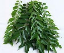 CURRY LEAF OIL     *100% Natural*