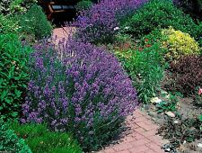 Lavender Seeds - English Organic,NON GMO, High Quality,Untreated Seed -Perennial