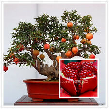 30 Pcs Bonsai Pomegranate Seeds Very Sweet Delicious Fruit Seeds,Succulents Tree
