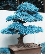 20Pcs/Bag Bonsai Blue Maple Tree Seeds Bonsai Tree Seeds. Rare Japanese Sky Blue