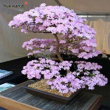 Japanese Sakura Seeds Bonsai Flower Cherry Blossoms Cherry Tree Ornamental Plant