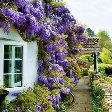 Blue Japanese Wisteria Fresh Viable Seeds Amazing Climber Free Shipping 2 Seeds