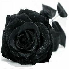 Promotion 100Pcs New Black Rose Seeds Chinese Rose Flower Seeds Pots Planters Bo
