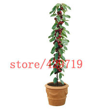 20 Bonsai Cherry Seeds Sweet Sylvia Upright Cherry Prunus Avium Self-Fertile Dwa