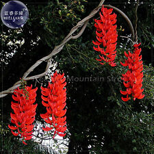Rare Mucuna Benettii Red Jade Vine Seeds, 5 Seeds, Professional Pack, Very Beaut
