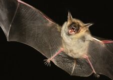 """Poster """"Mystic and Gothic: Greater mouse-eared bat"""""""