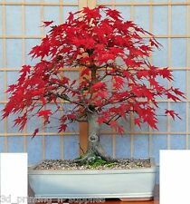 Flame Amur Maple, Acer Ginnala Flame, Tree Seeds