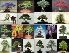 20 seeds, 5 seeds from 4 tree varieties. Tree seeds that can be used for bonsai.