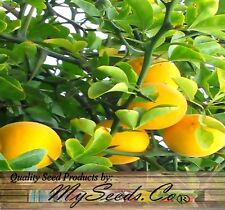 Hardy Orange - Poncirus trifoliata Tree Seeds - EXTREMELY HARDY CITRUS  Zones 5+