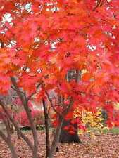 Full Moon Maple, Acer japonicum, Tree Seeds (Bonsai, Fall Color, Hardy)