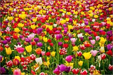 Poster / Leinwandbild A field of colorful tulips in spring - Steve Bly
