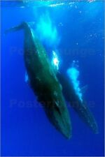 Poster / Leinwandbild Two humpback whales competitively dive i... - R. Hopkins