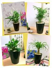 Evergreen Table Plant in Gloss Black Tubus Pot Patio House Garden Office Oxygen