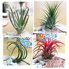1 Tillandsia Indoor House Air Plant Airplants Sea Shell Pebble White Spa Gravel