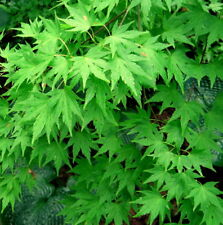 Japanese Maple, Acer palmatum, Tree Seeds (Fall Colors, Fast, Hardy, Bonsai)