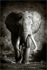 Poster, stampa su tela o vetro acrilico Elephant with huge t... - J. Swanepoel
