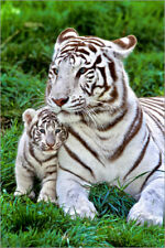 Poster, stampa su tela o vetro acrilico White Tiger, Mother with Cub - G. Lacz