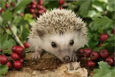 Póster, lienzo o cuadro en metacrilato Hedgehog with berries - Greg Cuddiford