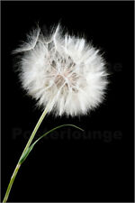 Póster, lienzo o cuadro en metacrilato the big white dandelion
